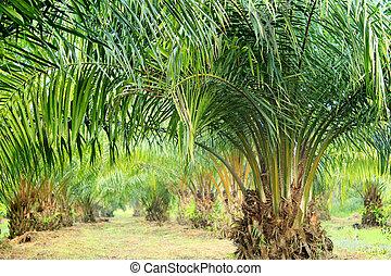 olja palm, plantering