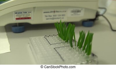 OLOMOUC, CZECH REPUBLIC, OCTOBER 3, 2018: Scientific research laboratory of plant phytohormones, scientist science prepares samples of wheat and weighs and tweezers then adds to cytokinin solution