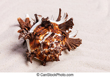 ?olorful conch seashell on the white sand background