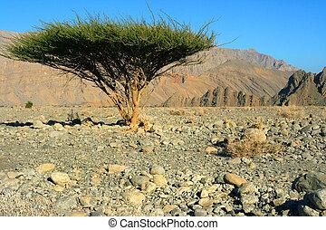 omans, solo, árbol, desierto
