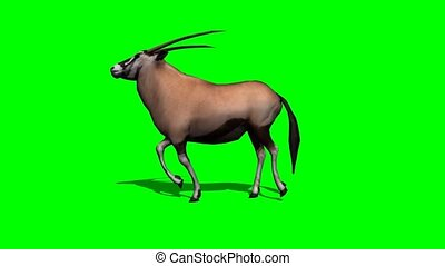 ombre, courant, gemsbock, antilope