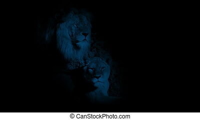 ombres, lions, nuit