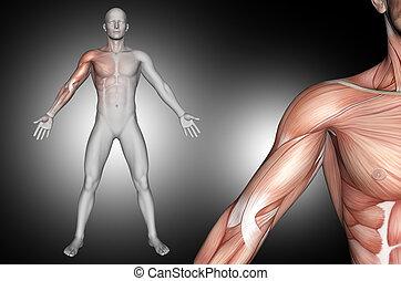 ombro, destacado, 3d, macho, músculos, figura, médico