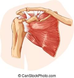 ombro, ilustração, anatomia, vetorial, fundo, branca
