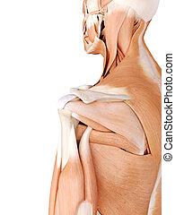 ombro, músculos