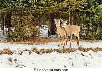 (omega, 公園, 冬, deers, quebec)
