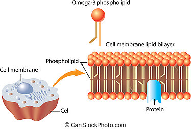 Omega-3 Phospholipid and skin cell membrane lipid layer...