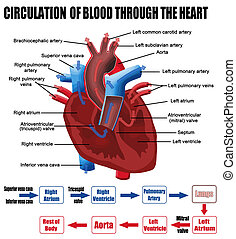 omløb, i, blod, igennem, hjertet