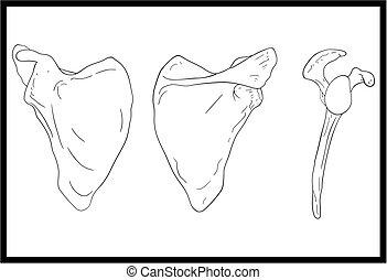 omoplate, anatomie, os