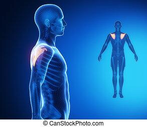 omoplate, anatomie, os, rayon x, balayage
