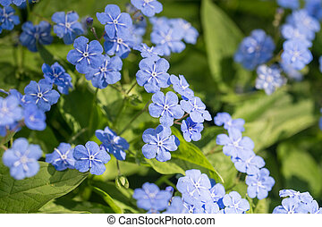 omphalodes blooming in spring