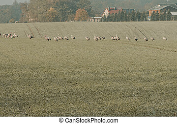 on a green field a large flock of cranes has gathered to eat