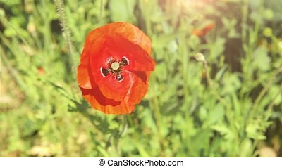 On a Sunny day in the Park bloomed wild red poppy HD...
