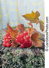 On an old wooden planks covered with moss and lichen lies a branch of red viburnum