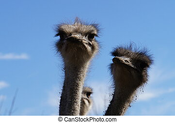 On an ostrich farm-2