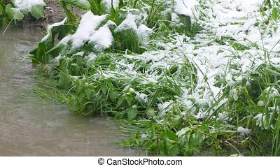 on green plants there is snow - Near the dirty river, green...