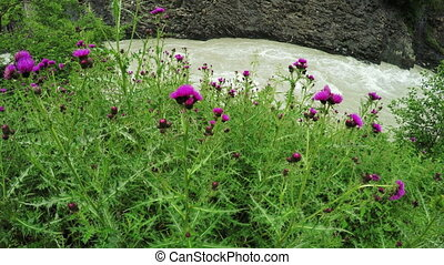On riverbank Thistle - On shore mountain river growing...