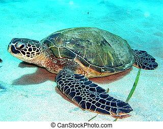 On the bottom - Hawaiian Green sea turtle on sandy bottom