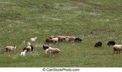 on the field a flock of sheep grazes