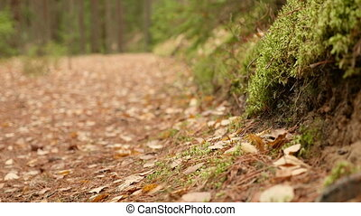 On the Ground of the Forest Trail. Autumn daytime. Smooth dolly shot
