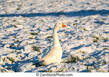 Goose in the snow