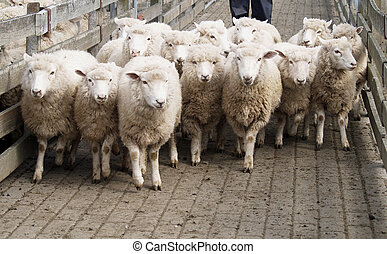 A small mob of sheep being moved to another pen