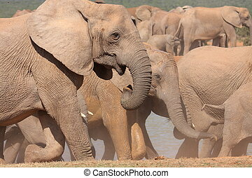 elephant herd on the move after drinking at a waterhole