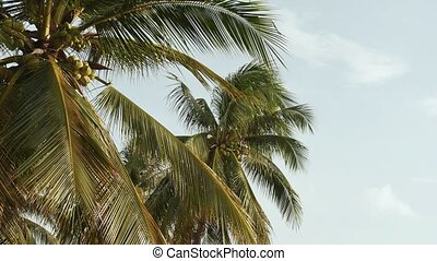 On the palm grow coconuts. Nature of Vietnam.