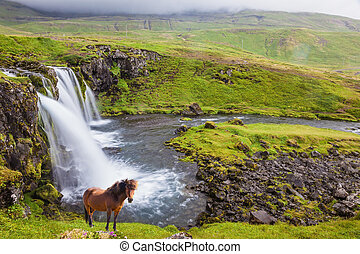 On the shore of waterfall Icelandic horse grazing