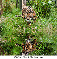 onca, jaguar, panthera, reflété, long, chat, eau, ...