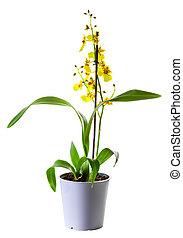 oncidium, pot fleurs, isolé, jaune, blanc, orchidée