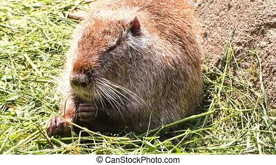 Ondatra eats grass. - An animal water rat eats grass, nature...