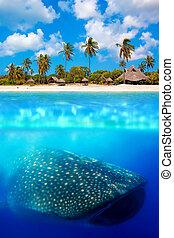 onder, whale shark