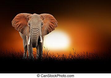 ondergaande zon , achtergrond, elefant