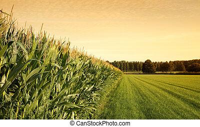ondergaande zon , cornfield
