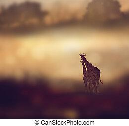 ondergaande zon , giraffes