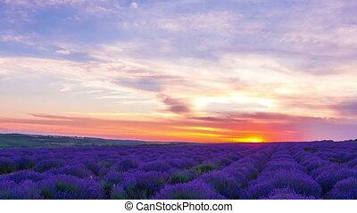 ondergaande zon , op, een, veld van lavendelblauw