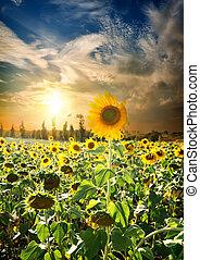 ondergaande zon , op, zonnebloemen
