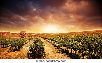 ondergaande zon , wijngaard