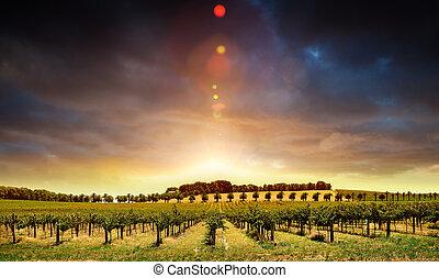ondergaande zon , wijngaarden
