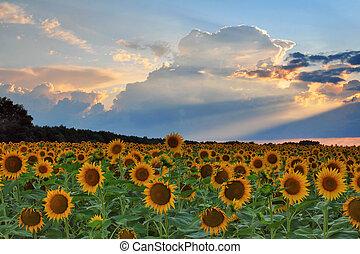 ondergaande zon , zonnebloemen