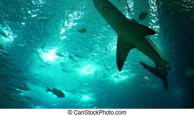 onderwater, grit, van, grijs rif shark, afsluiten,...