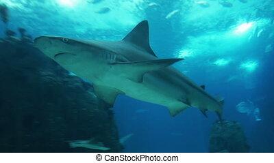 onderwater, grit, van, grijze , rif, en, whale shark