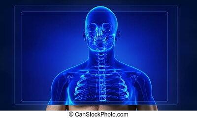 onderzoeken nauwkeurig, skelet, menselijk