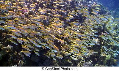 ondiepte, van, gele, visje, op, de, coraal