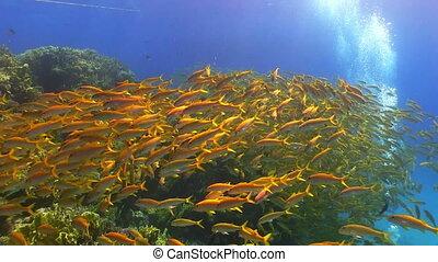 ondiepte, van, gele, visje, op, koraalrif