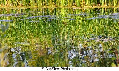 ondulation eau, étang, été