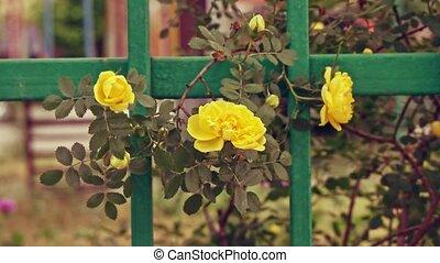 onduler, roses, vent, jaune