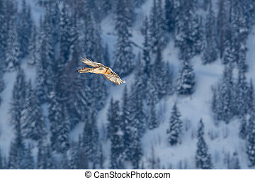 adult bearded vulture (gypaetus barbatus) flying over forest...