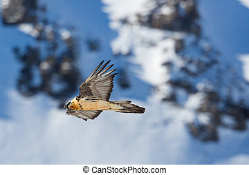 bearded vulture (gypaetus barbatus) flying, rocks, snow - ...